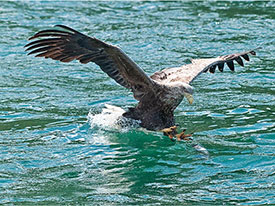 Sea Eagle Fishing